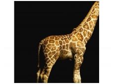 AP DIGITAL fototapetai 470035 Giraffe
