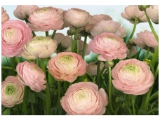 KOMAR fototapetai 8-894 Gentle Rose