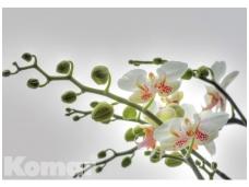 KOMAR fototapetai 1-608 Orchidee