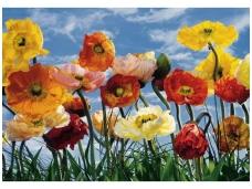 KOMAR fototapetai 8-257 Poppy