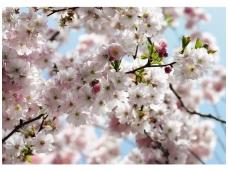 KOMAR fototapetai 8-507 Spring