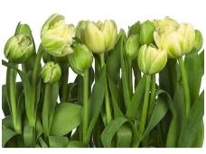 KOMAR fototapetai 8-900 Tulips